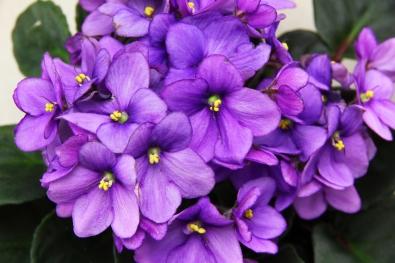 root-an-african-violet-leaf-step-6-version-2